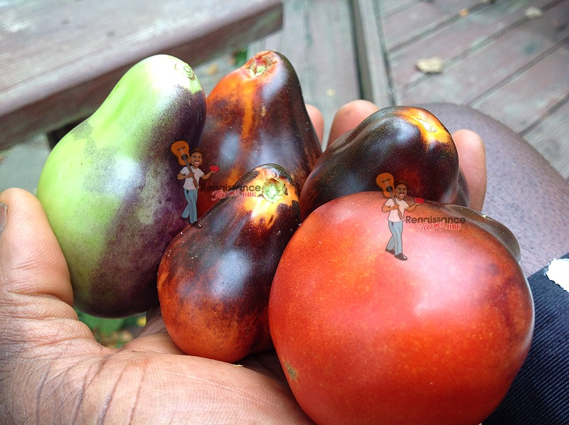 Blue Pear Tomato Information