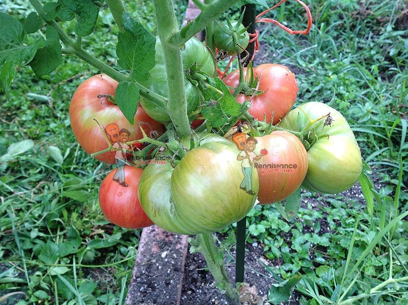 Dwarf Firebird Sweet Tomato Vine