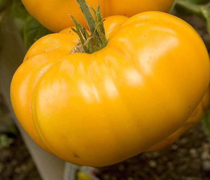 Yellow Brandywine Tomato | Heirloom Tomato Seeds