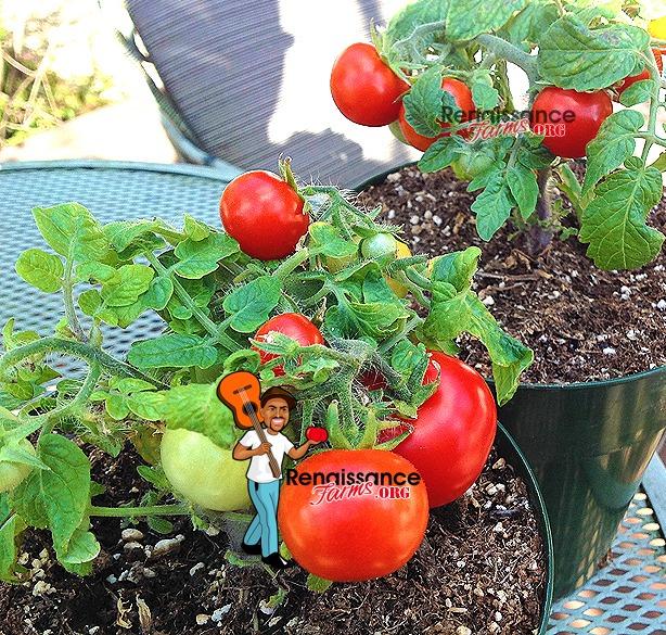 Andrina Micro Dwarf Tomato