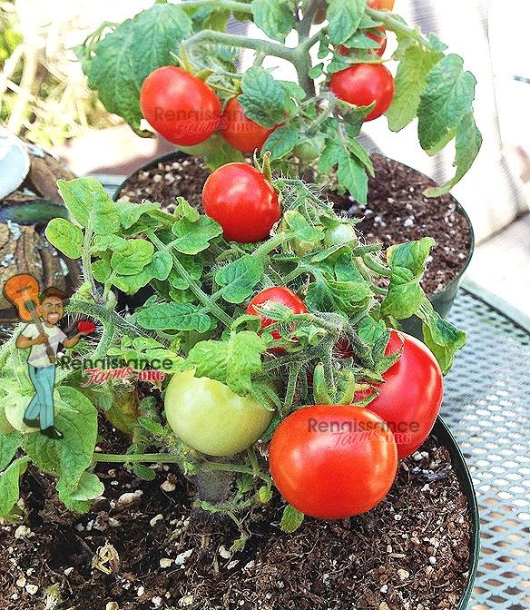 Andrina_Micro_Dwarf_Tomato