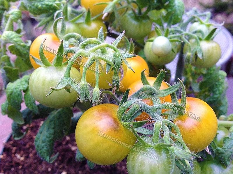 yellow heirloom tomatoes - photo #45
