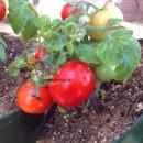 Micro_Dwarf_Andrina_Tomato