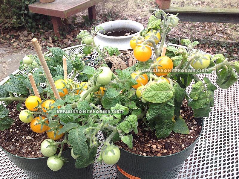 Pinocchio Micro Dwarf Tomato Heirloom