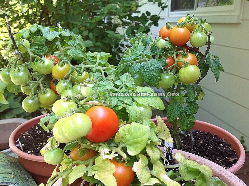 Red Robin Micro Dwarf Tomato Seeds For