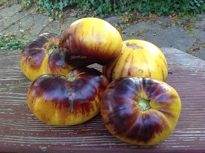 Sart Roloise Tomato