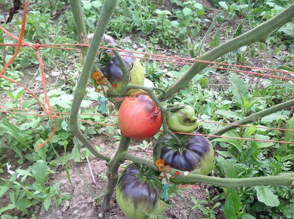 Pruning Heirloom Tomato Plants