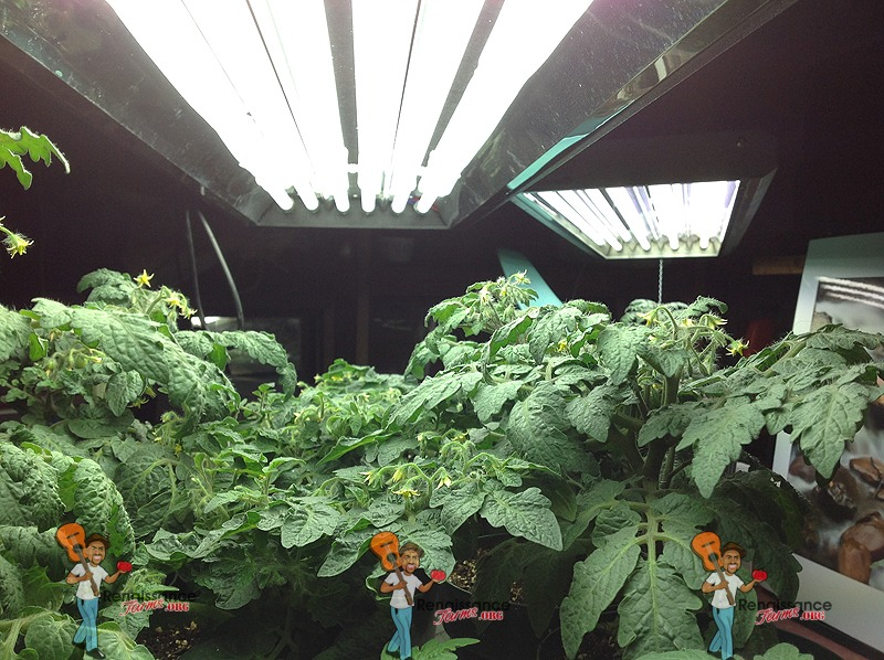 Operational Cost Of T5 Ho Grow Lights Heirloom Tomato Seeds