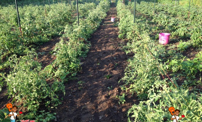 Tomato Plants In Rows
